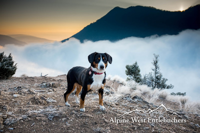 Entlebucher breeder in Oregon