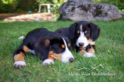 Entlebucher Mountain Dogs, similar to bernese Mountain dog.