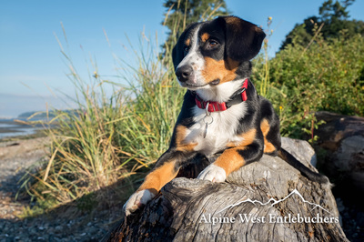 An Entlebucher is a great hiking dog