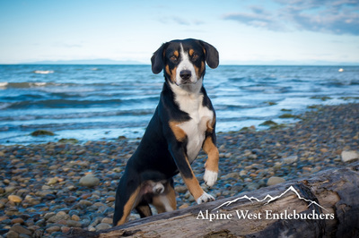 Entlebucher Stud Dog