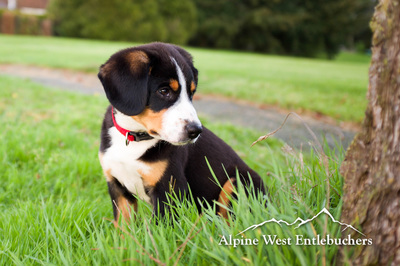 Swiss Mountain Dog puppy in Canada