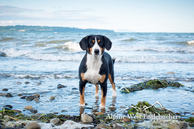 Entlebucher Mountain Dog USA
