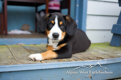 Bernese Greater Swiss Mountain Dog puppies