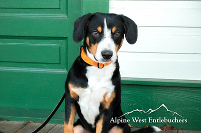 Male Entlebucher photo