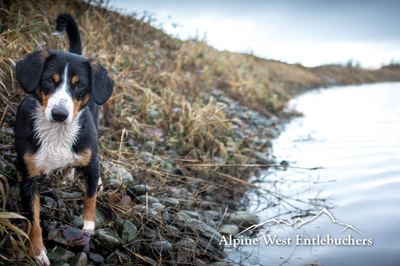 Entlebucher Breeder Oregon