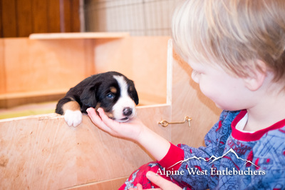 Entlebucher Puppies Washington USA Seattle