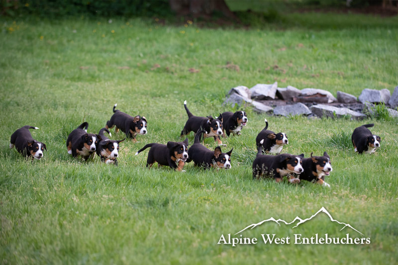 Bernese puppies running through a field
