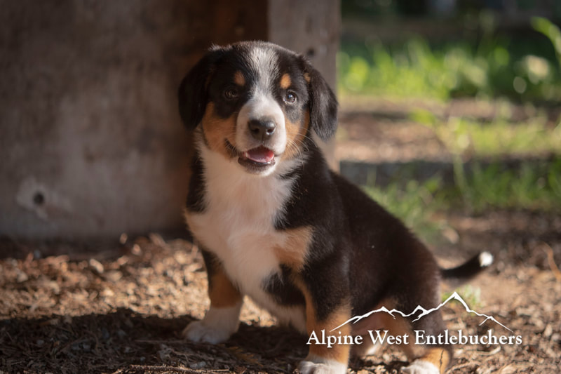 Entlebucher Puppies in Canada