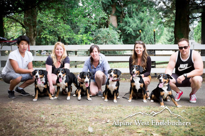 Entlebucher Litter one year old with parents
